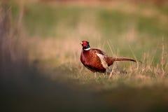 Common pheasant, Phasianus colchicus. Single male on grass, Warwickshire, April 2016 Stock Image