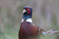 Common pheasant, Phasianus colchicus Stock Image