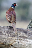 Common pheasant, Phasianus colchicus Royalty Free Stock Image