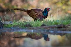 The Common Pheasant, Phasianus colchicus is standing at the forest waterhole and preparing to drink, mirroring reflection in the royalty free stock photo