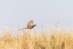 Common Pheasant & x28;Phasianus colchicus& x29; in the UK. Bird, birds, gibraltar, point, nature, phasianidae, skegness, united, kingdom, animal, animals royalty free stock photos
