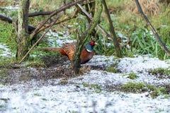 Common Pheasant & x28;Phasianus colchicus& x29; in the UK. Bird, birds, nature, phasianidae, united, kingdom, animal, animals, avian, england, europe stock photo