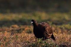 Common Pheasant - Phasianus tenebrosus female Stock Image