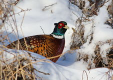 Common pheasant in snow Stock Images