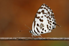 Common Pierrot Royalty Free Stock Image