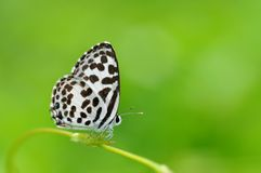 Common Pierrot butterfly. Of Thailand background Stock Photo