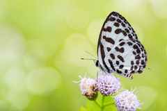 Common Pierrot butterfly Stock Photo