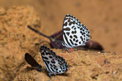 Common Pierrot butterfly Stock Photos