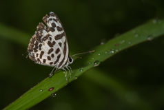 Common Pierrot Butterfly Stock Image
