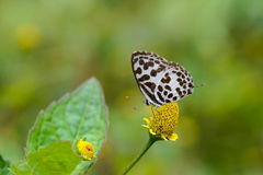 Common Pierrot butterfly on  flower Royalty Free Stock Image