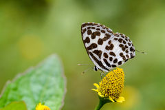Common Pierrot butterfly on  flower Stock Images