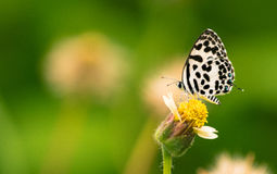 Butterfly landed on a flower. Common pierrot butterfly is not the rarest one nor most beautiful one that you could find in Thailand. However, It`s pretty easy stock photography