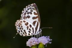 Common Pierrot Castalius rosimon Close up Stock Image