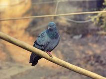 Common Pigeon. It is a common pigeon on a bamboo pole Royalty Free Stock Image