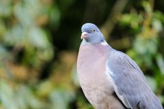 Common pigeon sat on a fence stock images