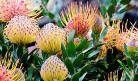 Common pincushion protea Royalty Free Stock Images