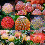Common pincushion protea Royalty Free Stock Photography