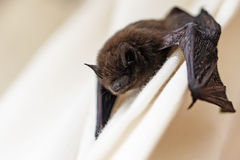 Common pipistrelle (Pipistrellus pipistrellus) a small bat on a. Common pipistrelle (Pipistrellus pipistrellus) a small bat has strayed into the room and climbs Stock Images