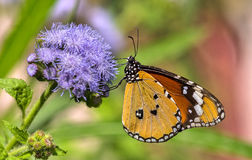 Common plain tiger butterfly. Closeup shot of common plain tiger butterfly Royalty Free Stock Photography