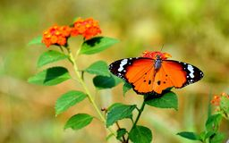 Common plain tiger butterfly. Plain tiger butterfly sitting on the orange colour Lantana camara flower in the morning stock image