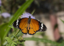 Common plain tiger butterfly Stock Image