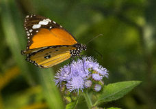 Common Plain tiger butterfly Royalty Free Stock Photo