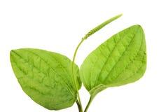 Common  plantain Stock Image