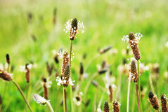 Common plantain - Plantago major Royalty Free Stock Images