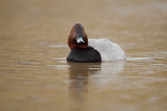Common pochard Royalty Free Stock Image