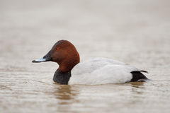 Common pochard Royalty Free Stock Photos