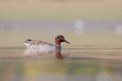 Green-winged Teal (Anas carolinensis) or (Anas cre Stock Photos