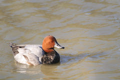Common Pochard, Aythya ferina Stock Photo