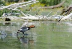 Common Pochard (aythya ferina). Common Pochard on the lake (aythya ferina Royalty Free Stock Photo