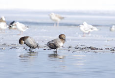 Common Pochard (aythya ferina) and seaguls Stock Image