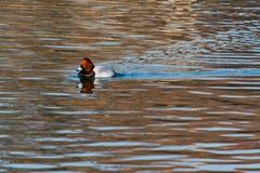 Common Pochard. A Common Pochard duck swimming in Osaka Castle`s moat Stock Photo