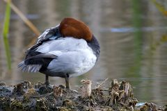 Common Pochard Duck Royalty Free Stock Images