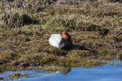 Common Pochard Royalty Free Stock Images