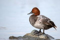 Common pochard male Aythya ferina stands on stone in water.  Stock Images