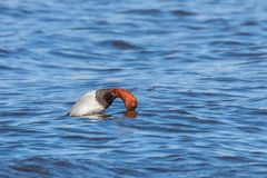 Common Pochard male dive in the lake Aythya ferina. Wildlife stock images