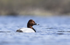 Common Pochard. Swimming in the lake Royalty Free Stock Photos