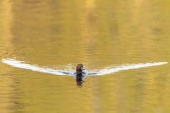 Common Pochard swimming in lake Royalty Free Stock Photo