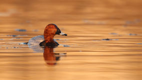 Common pochard Stock Image