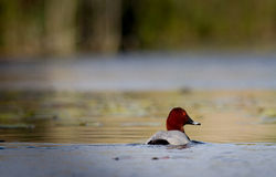 Common Pochard. Swimming in water Stock Image