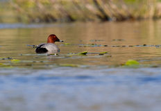 Common Pochard. Swimming in water Stock Images