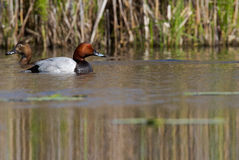 Common Pochard. Swimming in water Royalty Free Stock Image