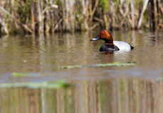 Common Pochard. Swimming in water Royalty Free Stock Photography