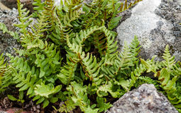Common polypody amongst rocks Stock Images