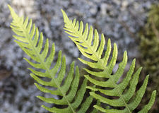 Common Polypody. In natural habitat Stock Images