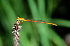 Common pond damselfly Stock Photos