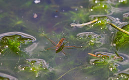 Common pond skater Royalty Free Stock Photos